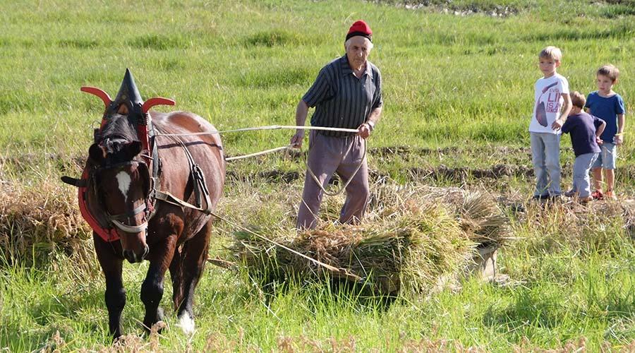 Cultivando los arrozales de Pals